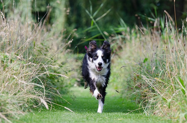 Border Collie tra l'erba